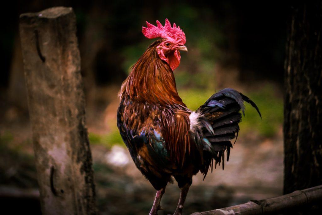 Pemilik Ayam Tarung